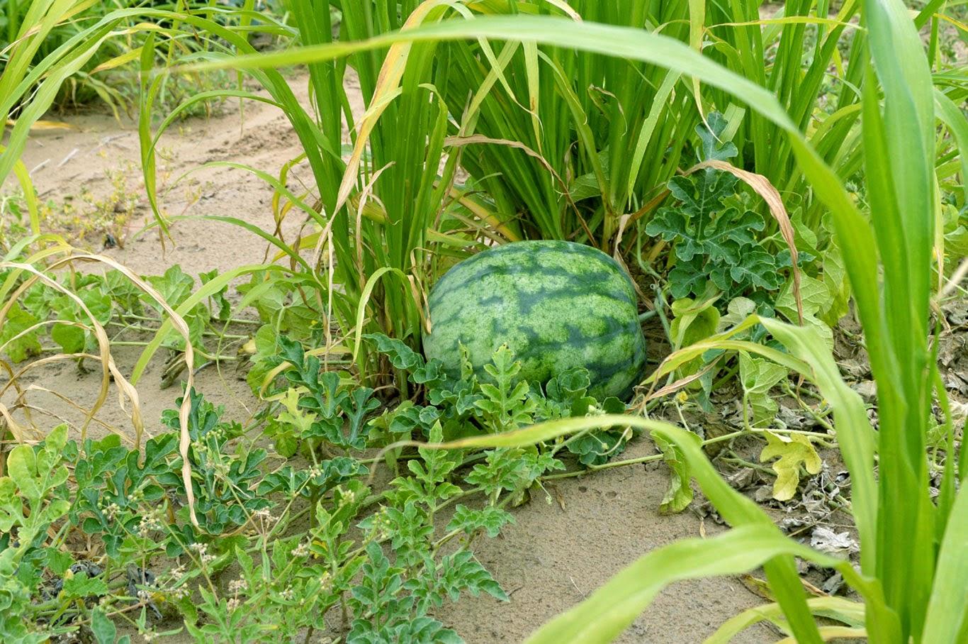 watermelon in farm house