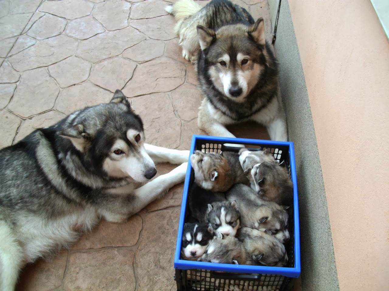 Cute dogs - part 11 (50 pics), mommy and daddy husky with their puppies