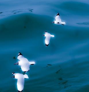 """""""seagull-stmartins"""""""