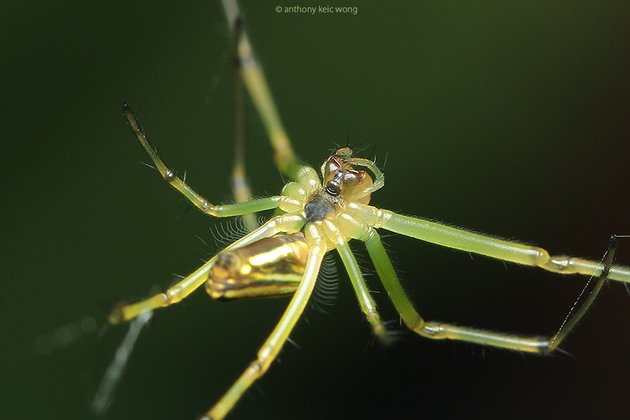 strange nephila sp