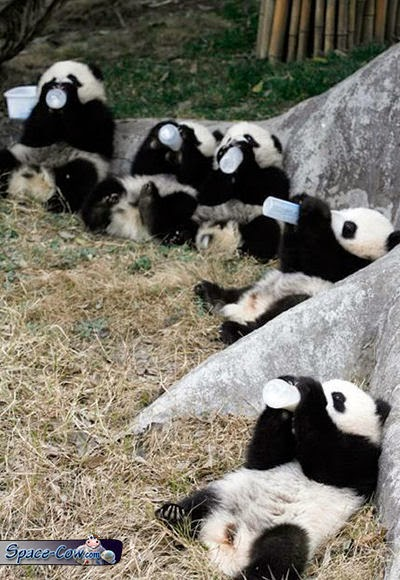 funny cute panda bears