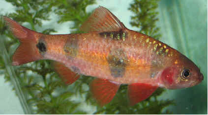 Aquarium Fish: Clown Barb