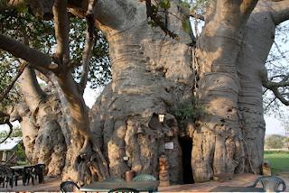 Pohon Baobab, Tampak Seperti Pohon Terbalik