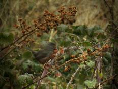 Curruca rabilarga entre Rubus ulmifolius