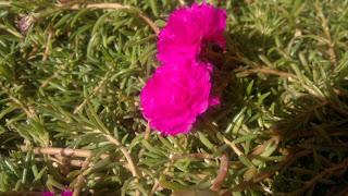 Rose in Kuwait