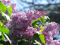 Suburban Lilacs