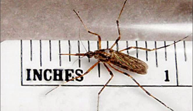 nyamuk paling menyakitkan gallnipper