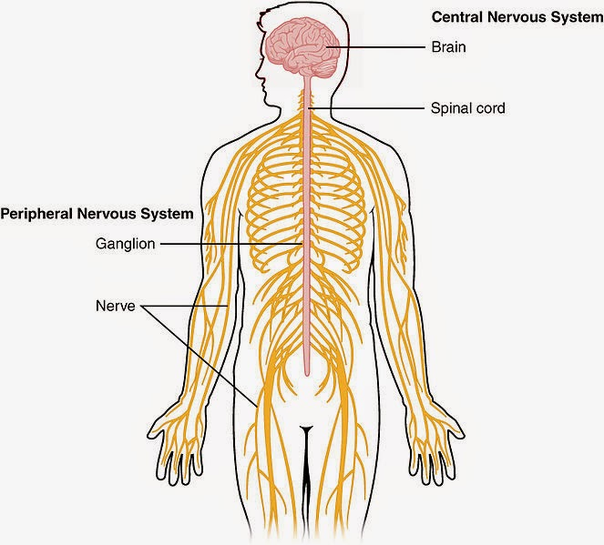 Sex organs peripheral nervous system