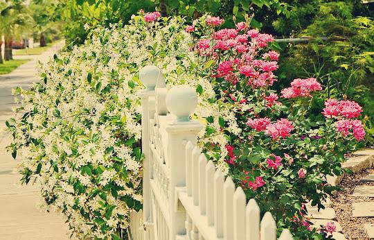 Jasmim e rosas