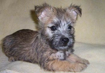 Cairn Terrier Puppies Images