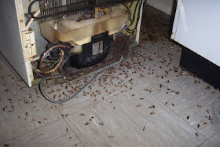 Cockroaches behind fridge
