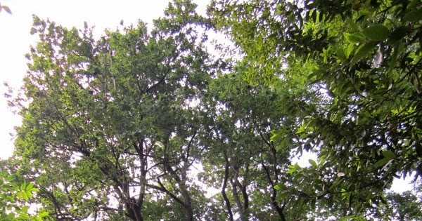 Amigo rbol roble de burbustu en zaratamo bizkaia - Arboles pais vasco ...