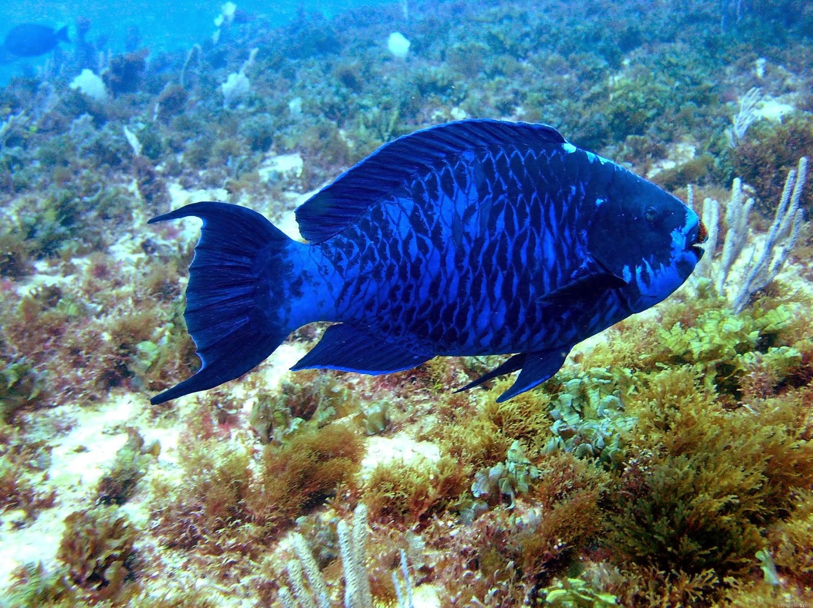 Blog el pez loro azul for Blue fish florida