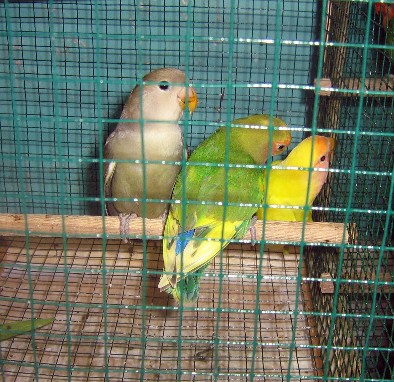 love bird yogya anakan lutino