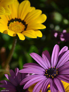 purple and yellow