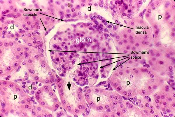 convoluted tubule and    d    denotes distal convoluted tubuleDistal Convoluted Tubule Histology