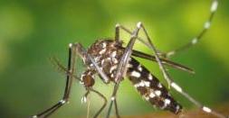 Ce boli transmite țânțarul tigru