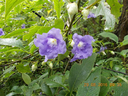 "It was raining ""Purple Flowers"" on the ""KARVI TRAIL""."