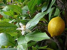 Panduan dan Khasiat Lemon Dalam Kesihatan