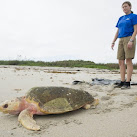 SeaWorld Orlando Returns 128-pound Loggerhead Sea Turtle to Atlantic