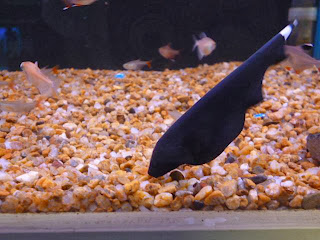 black ghost fish size