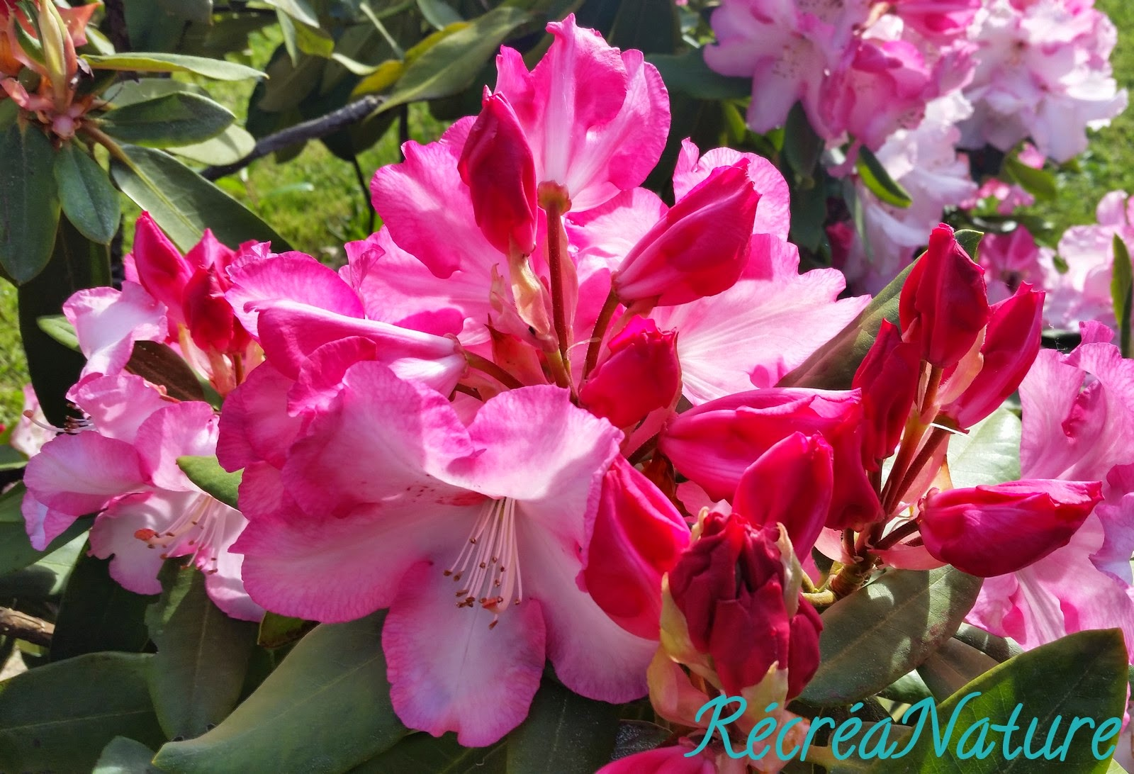 Mon jardin en mai 1 fleur de rhododendron rose - Rhododendron ne fleurit pas ...