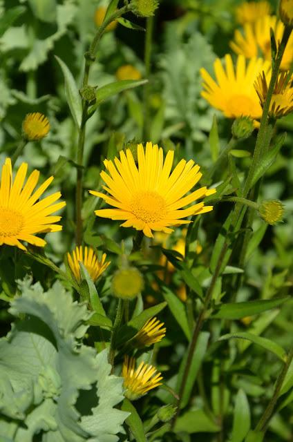 liten gul blomma