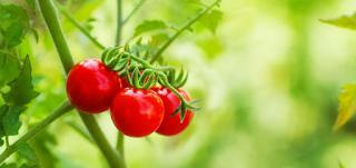 Mencerahkan Wajah Dengan Menggunakan Masker Tomat