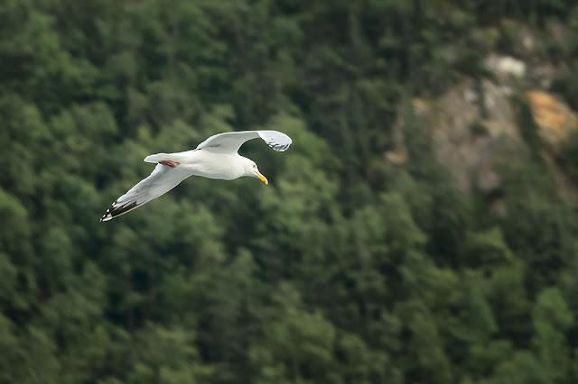 Seagull in Skagway, Alaska