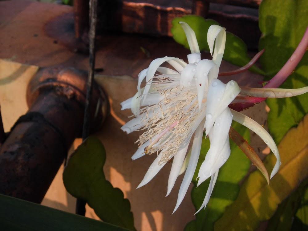 Pengobatan Tuberkulosis Paru Dengan Tanaman Bunga Wijayakusuma