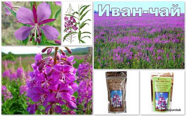 Иван-чай (кипрей, копорка, копорский чай)