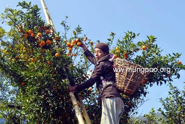 Orange plucking in mungpoo Darjeeling