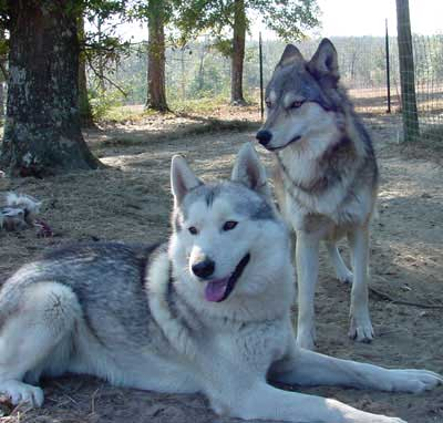 hybrid animal - wolfdog