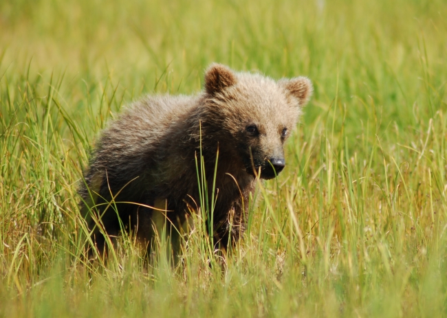 Grizzly bears cubs - photo#4