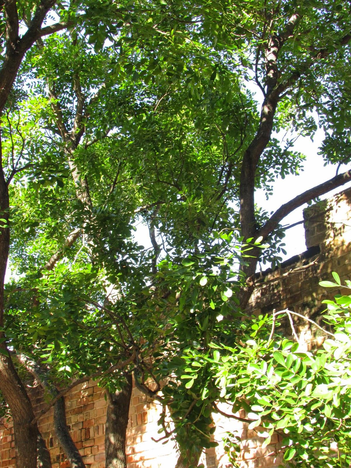 http://aggie-horticulture.tamu.edu/ornamentals/nativeshrubs/sophorasecund.htm
