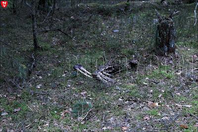 Негорельский учебно-опытный лесхоз. Обглоданные кости лосей