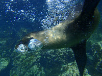 Underwater Image of Playful Sea Lion in Galapagos Islands