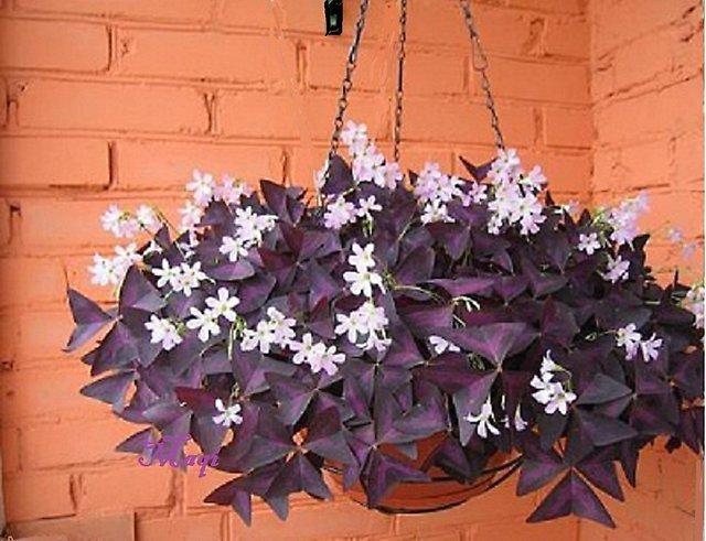 Цветок бабочки уход в домашних условиях фото