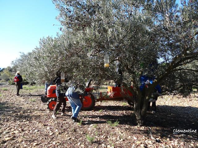 le blog de clementine r colte des olives l 39 arboretum canet en roussillon. Black Bedroom Furniture Sets. Home Design Ideas