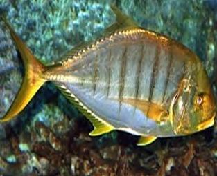 Wak Mancing Dapat Ikan Jembelang
