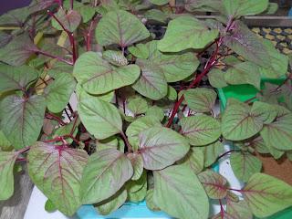 contoh tanaman hidroponik bayam