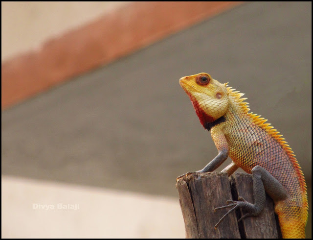 A bright yellow Lizard Sitting on a wooden pole