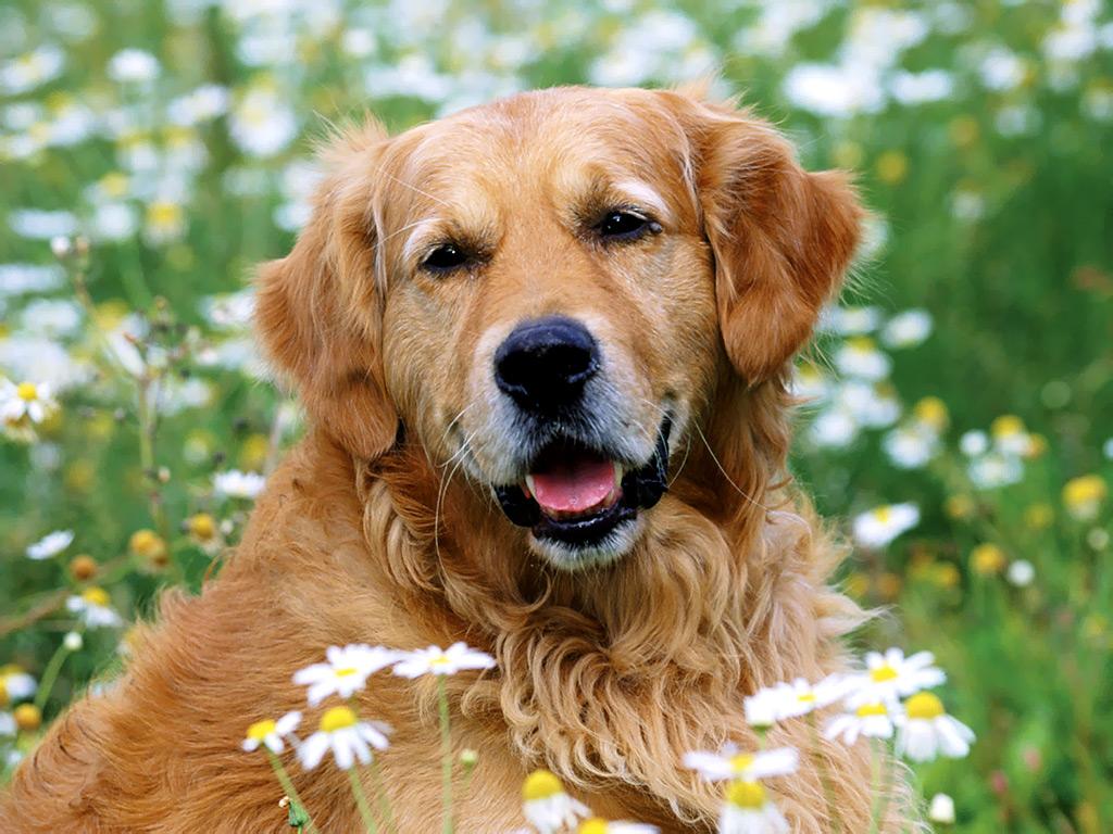 Golden Retriever dogs ...