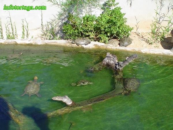 en este estanque los bordes son bajos y suaves lo que permite a estas mauremys leprosa salir sin problemas imagen de enric pmies