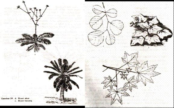 Gambar Roset akar dan batang Gambar Mosaik daun