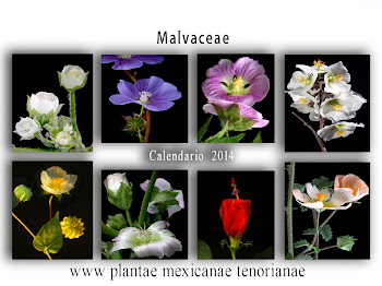 Calendario de Familias Botanicas: Malvaceae 2014