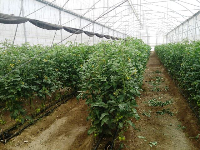 Alistan producci n de jitomate en vivero municipal for Vivero municipal