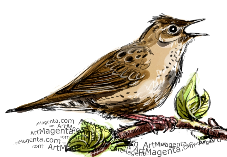 Grasshopper Warbler sketch painting. Bird art drawing by illustrator Artmagenta.