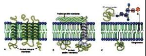 struktur karbohidrat membran