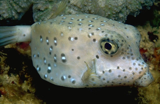 Boxfish have been described as cubes with holes for the eyes, mouth ...